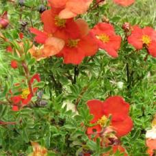 Mochna křovitá Potentila fruticosa Red