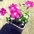 Prvosenka - Primula